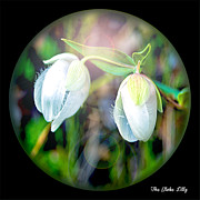 William Havle - The Globe Lilly Under...