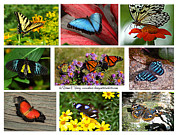 Milk Weed Posters - The Glory of Butterflies 3 Poster by Diane E Berry
