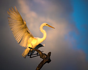 Mark Andrew Thomas - The Golden Egret