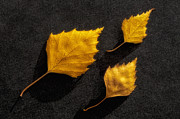 Black And Yellow Metal Prints - The Golden leaves Metal Print by Veikko Suikkanen