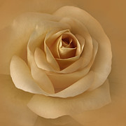 The Golden Rose Flower Print by Jennie Marie Schell