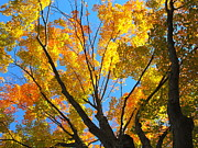 Fall Photographs Prints - The Golden Tree Print by Rohini Yadawar