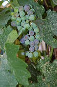 The Grapes Print by Holly Blunkall