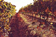 Winery Photography Posters - The Grapes of the Wine Country Poster by Amy Delaine
