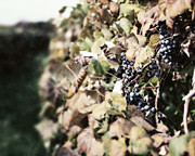 Wine Grapes Prints - The Grapevines Print by Lisa Russo