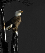 Mature Prints - The Great Bald Eagle 1  Print by Thomas Young