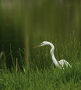 Tommytroutphoto Photos - The Great Egret 3 by Thomas Young