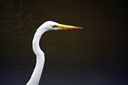 Kim Pate - The Great Egret Head Shot