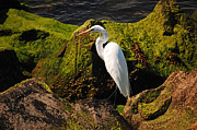 Joe Varneke - The Great Egret