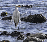 Bill Baer - The Great Egret Stand