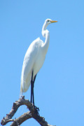 Tammy Olson - The Great Egret