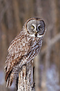 Rare Bird Framed Prints - The Great Grey Owl Framed Print by Mircea Costina Photography