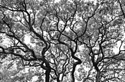 Whites Posters - The Great Oak in black and white Poster by Aimee L Maher