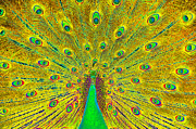 Artwork Digital Art Digital Art - The Great Peacock by David Lee Thompson