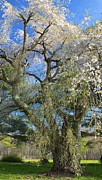 Amazing Jules - The Great Tree in Blossom