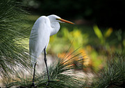 Cay Photos - The Great White Egret by Sabrina L Ryan