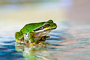 Pacific Tree Frog Metal Prints - The Green Frog Metal Print by Robert Bales