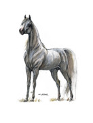 Horse Drawings - the Grey arabian horse 7 by Angel  Tarantella
