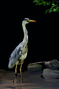 Wild Life Prints - The Grey Heron Print by Brian Roscorla