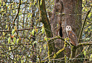 Barn Owls Prints - The Guardian Barn Owl Print by Jennie Marie Schell