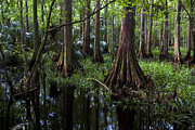 Florida Rivers Photo Prints - The Hammock Print by Debra and Dave Vanderlaan