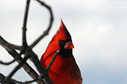 Cardinals. Wildlife. Nature. Photography Photos - The Handsome Cardinal by Suzanne Rogers