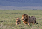 Sandra Bronstein - The Happy Couple - Mating Lions