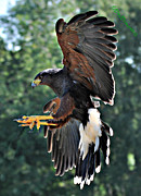 Bev  Brown - The Harris Hawk in Action