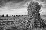 Corn Stalks Art - The Harvest by Dennis Hedberg