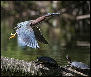 Puerto Rico Digital Art Prints - The Heron and The Turtle Print by Alfredo Machado