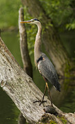 Great Catch Prints - The heron and the turtle Print by Mircea Costina Photography
