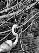 Hermann Photos - The hidden egret  by Joshua House