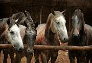 The Horses Print by Angel  Tarantella