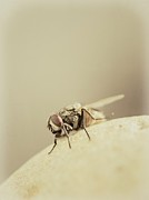 Flies Prints - The Housefly II Print by Marco Oliveira