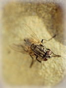 Flies Framed Prints - The Housefly VI Framed Print by Marco Oliveira
