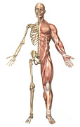 Human Skeleton Art - The Human Skeleton And Muscular System by Stocktrek Images