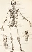 Hands Drawings Posters - The Human Skeleton Poster by English School