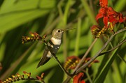 Gathering Photos - The Humming Bird Rests by Jeff  Swan