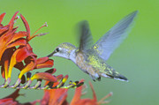 Hood River Oregon Posters - The Humming Bird Sips  Poster by Jeff  Swan