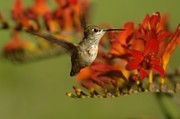 Humming Birds Framed Prints - The Hummingbird Turns   Framed Print by Jeff  Swan