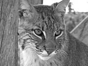 Bobcats Framed Prints - The Hunter Black and White Framed Print by Jennifer  King