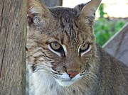 Bobcats Framed Prints - The Hunter Framed Print by Jennifer  King