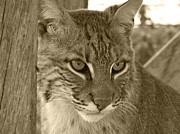 Bobcats Framed Prints - The Hunter - Sepia Framed Print by Jennifer  King