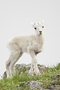 Ak Prints - The Innocence of a Lamb Print by Tim Grams