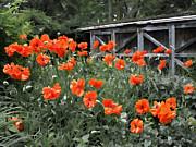 Barbara McMahon - The Inspiration of Orange Poppies