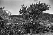 Juergen Klust Metal Prints - The Irish Wall and the Tree Metal Print by Juergen Klust
