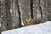 Gatineau Park Framed Prints - The Jackal Framed Print by Joshua McCullough