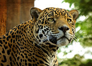 Feline Art - The Jaguar  by Saija  Lehtonen