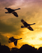 Wildlife Sunset Posters - The Journey South Poster by Bob Orsillo