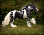 Gypsy Cob Framed Prints - The Judge Framed Print by Elizabeth Sescilla